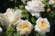 Englische Rose 'Emanuel' ®