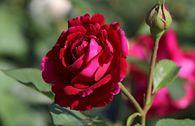 Englische Rose 'Falstaff' ®