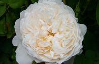 Englische Rose 'Glamis Castle' ®