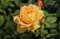 Englische Rose 'Golden Celebration'
