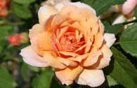 Englische Rose 'Grace' ®