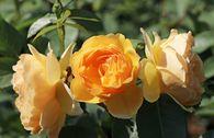 Englische Rose 'Graham Thomas' ®