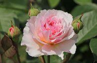 Englische Rose 'James Galway'
