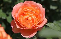 Englische Rose 'Lady of Shalott'