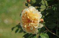 Englische Rose 'Teasing Georgia'