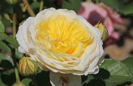 Englische Rose 'The Pilgrim' ®