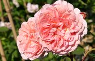 Englische Rose 'William Morris'