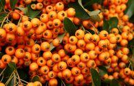 Feuerdorn 'Orange Charmer'