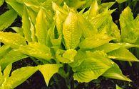 Frühlings-Gold-Funkie 'Aurea'