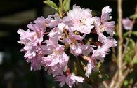 Frühlingskirsche / Zierkirsche 'Fukubana'