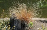 Fuchsrote Neuseeland-Segge