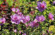 Garteneibisch 'Lavender Chiffon' ®