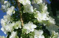 Eichenblatt-Hortensie 'Hovaria ® Quercifolia'
