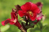Gauklerblume 'Roter Kaiser'