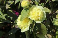 Gefülltblühende Stockrose 'Pleniflora' (Gelb)