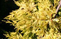 Gelbe Baumzypresse 'Castlewellan Gold'