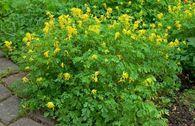 Gelber Lerchensporn