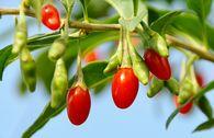 Gojibeere / Gemeiner Bocksdorn / Teufelszwirn 'No. 1 Lifeberry' ®