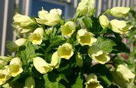 Gold-Weigelie / Gelbblütige Weigelie middendorffiana
