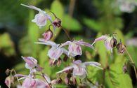 Großblütige Elfenblume 'Akebono'