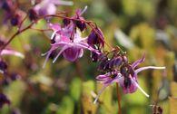 Großblumige Elfenblume 'Lilafee'
