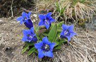 Großblumiger Frühlings-Enzian