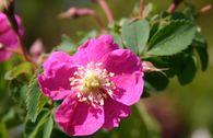 Hängefrucht-Rose / Alpen-Heckenrose