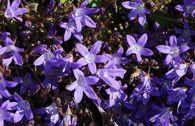 Hängepolster-Glockenblume 'Stella'
