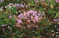 Herbst Alpenveilchen