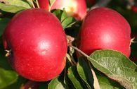 Herbstapfel 'Akane' / 'Prime Rouge' / 'Primrouge'