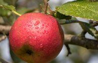 Herbstapfel 'Biesterfelder Renette'