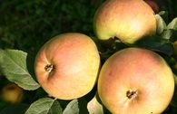 Herbstapfel 'Buchards Renette'