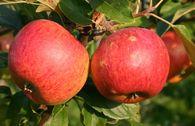 Herbstapfel 'Charles Ross'
