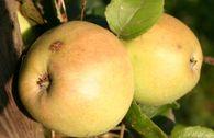 Herbstapfel 'Elise Rathke'