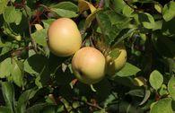 Herbstapfel 'Engelsberger Renette'
