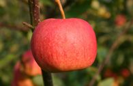 Herbstapfel 'Gala'