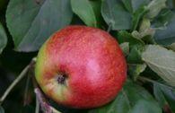 Herbstapfel 'Geflammter Kardinal'