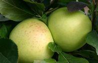Herbstapfel 'Grahams Jubiläumsapfel', 'Royal Jubilée'