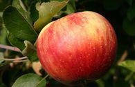 Herbstapfel 'Juwel aus Kirchwerder'