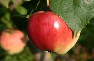Herbstapfel 'Kaiser Alexander'