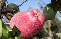Herbstapfel 'Maren Nissen'