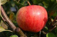 Herbstapfel 'Moringer Rosenapfel'