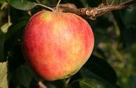 Herbstapfel 'Roter Gravensteiner', 'Rosenapfel'
