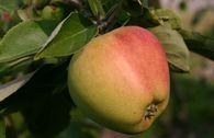 Herbstapfel 'Tulpenapfel', 'Freiherr von Trauttenberg'