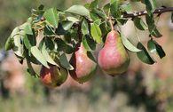 Herbstbirne 'Clapps Liebling'