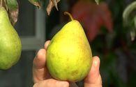 Herbstbirne 'Köstliche von Charneux'