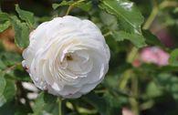 Historische Rose 'Boule de Neige'