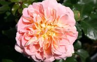 Historische Rose 'Buff Beauty'