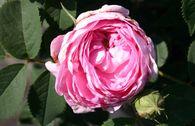 Historische Rose 'Conrad Ferdinand Meyer'