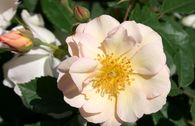 Historische Rose 'Penelope'